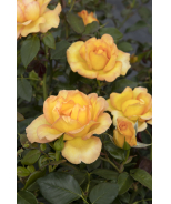 Gold Struck™ Grandiflora Rose