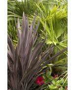 Bauer's Dracaena Palm
