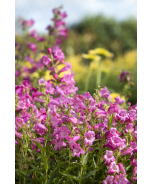 HARLEQUIN™ Pink Beardtongue