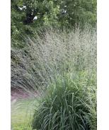 Skyracer Purple Moor Grass
