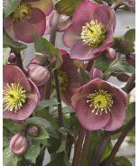 FrostKiss™ Pippa's Purple® Lenten Rose