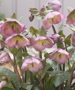 FrostKiss™ Dorothy's Dawn® Lenten Rose