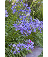 Queen Anne Agapanthus