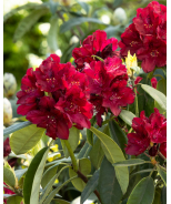 Henry's Red Rhododendron