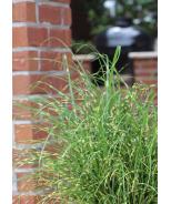 Bandwidth Maiden Grass