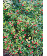 Berri-Magic® China Holly Combination