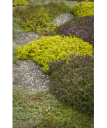 Doone Valley Pink Creeping Thyme