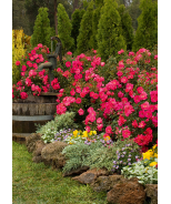 Flower Carpet® Pink Supreme Groundcover Rose