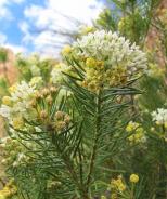 Monarch Magnet Pineleaf Milkweed