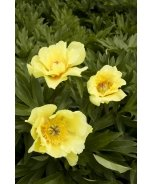 Sequestered Sunshine Itoh Peony