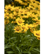 Solanna™ Bright Touch Coreopsis