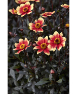 Happy Days™ Orange Red Bicolor Dahlia