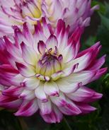 Labella® Maggiore Rose Bicolor Dahlia