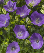 Pristar™ Deep Blue Bellflower