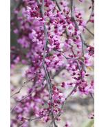 Lavender Twist® Redbud