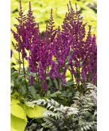 Vision In Red Astilbe