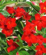 Tropical Breeze™ Velvet Red Mandevilla