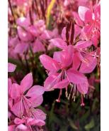 Grace™ Compact Pink Gaura