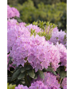 Pink Treasure Rhododendron