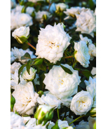 White Drift® Groundcover Rose
