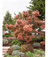 Grace Smoke Tree