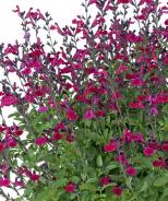 VIBE® Ignition Fuchsia Salvia