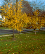 Harvest Gold® Crabapple