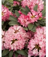 Sneezy Rhododendron