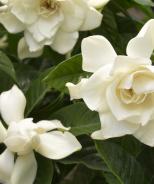 Mystery Gardenia (Grafted)
