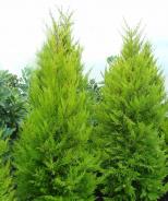 Donard Gold Monterey Cypress