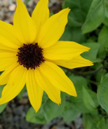 SunBelievable™ Golden Girl Helianthus