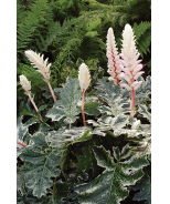 Whitewater Acanthus