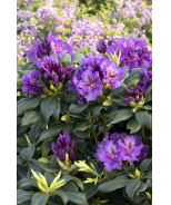 Lee's Dark Purple Rhododendron