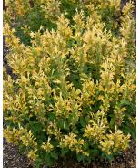 Poquito™ Butter Yellow Dwarf Hummingbird Mint