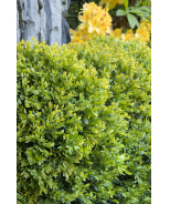 Chicagoland Green® Boxwood