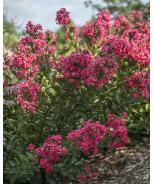 Bellini® Raspberry Crape Myrtle