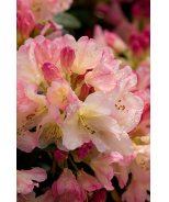 Percy Wiseman Rhododendron