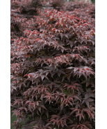 Rhode Island Red Japanese Maple