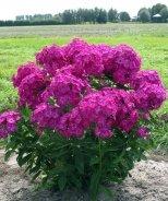 Volcano® Ruby Garden Phlox