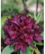 Dark Lord Rhododendron