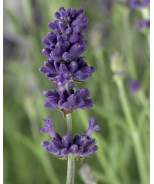 Scent™ Blue Early Lavender