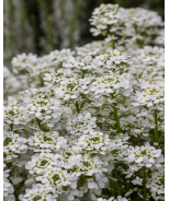 Tahoe Candytuft