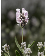 Scent™ Early White English Lavender