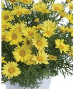 Sunny Spring Yellow Margaurite Daisy