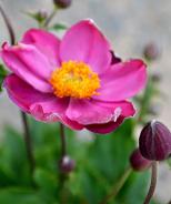Pretty Lady Diana Wind Flower