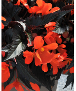 Unstoppable Upright Fire Begonia