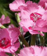 Scent from Heaven™ Angel of Hope Dianthus