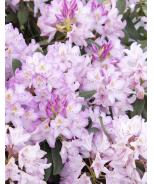 Pink Rosebay Rhododendron