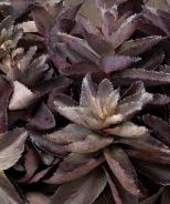 Evolution™ Chocolate Fountain Sedum