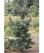 Dwarf Japanese White Pine